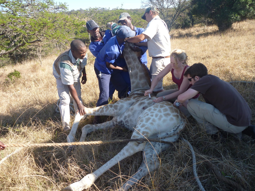 Volunteer vet students participating in giraffe game capture for international veterinary experience in South Africa