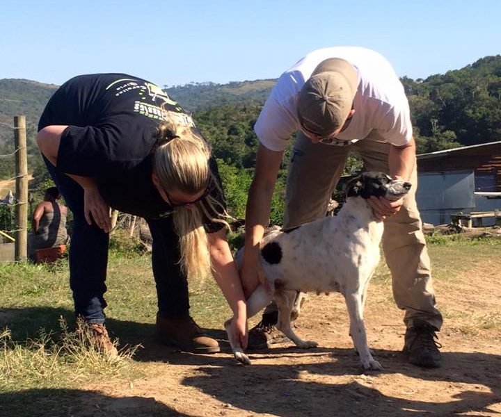 Volunteer vet students treating and dipping dogs for small animal / vet experience in a local African village