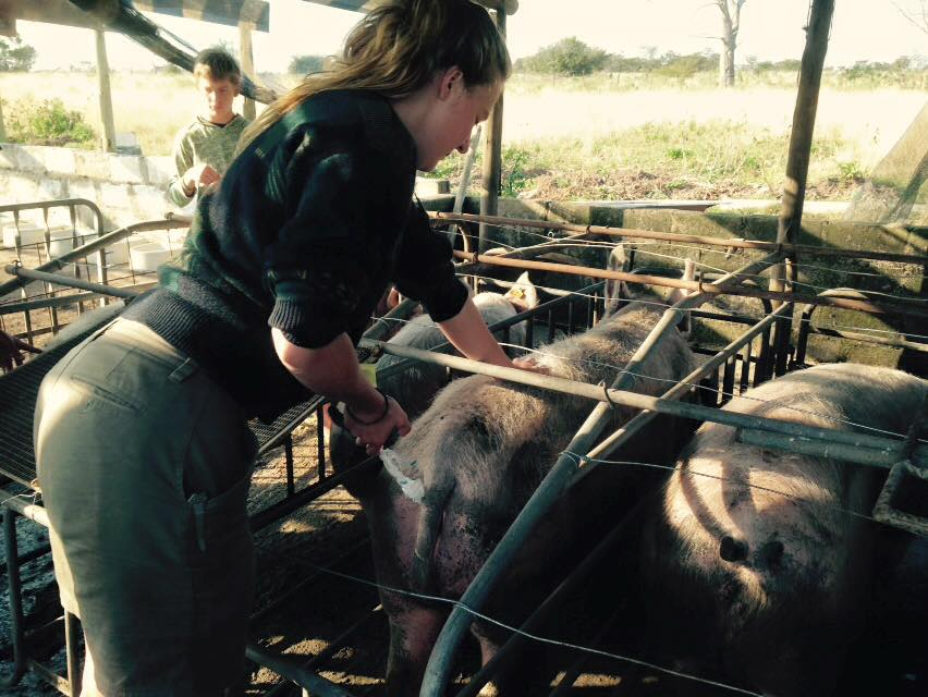 Volunteer vet students treating pigs for international veterinary experience in South Africa
