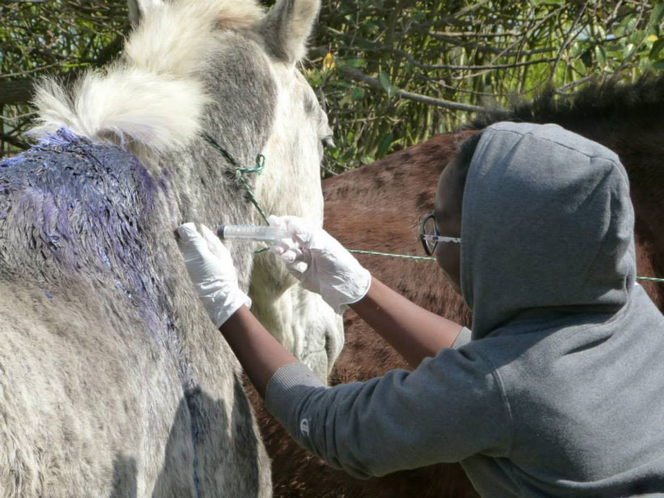 Volunteer vet students treating horses for international veterinary experience in South Africa