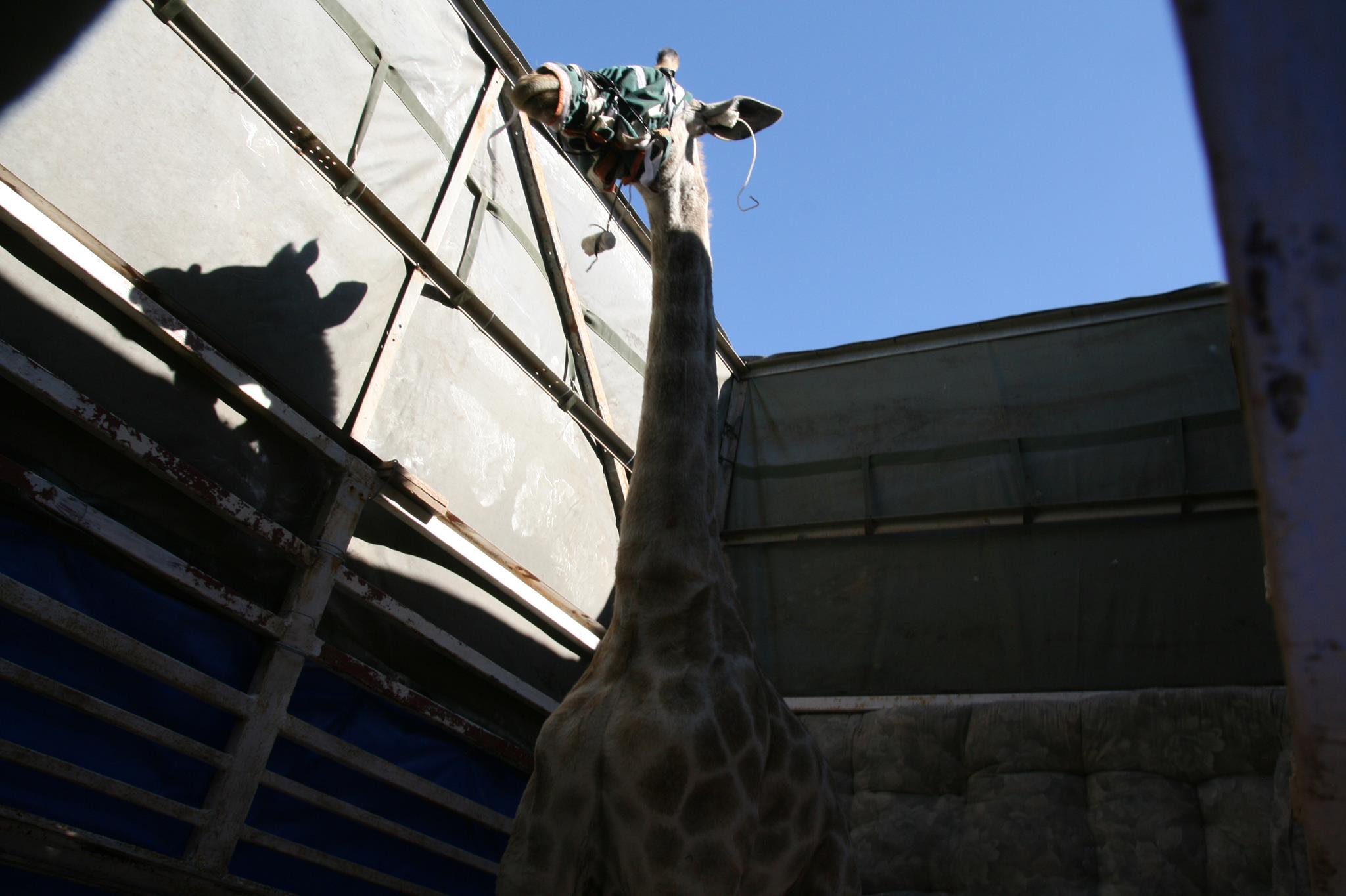 Volunteer vet students participating in giraffe game capture for veterinary experience in South Africa