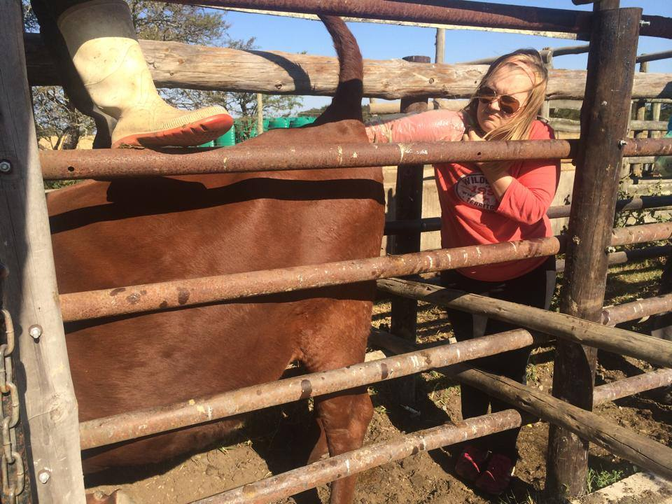 Volunteer vet students treating cows for international veterinary experience in South Africa