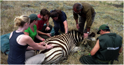 Volunteer vet students participating in zebra game capture for international veterinary experience in South Africa