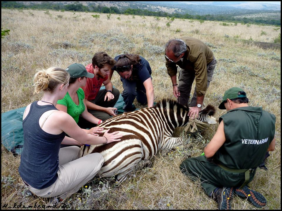 Volunteer vet students participating in a zebra game capture for veterinary experience in South Africa