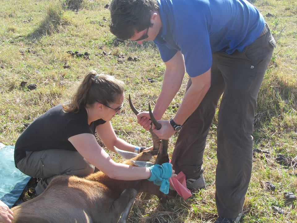Volunteer vet students participating in a blesbok game capture for veterinary experience in South Africa