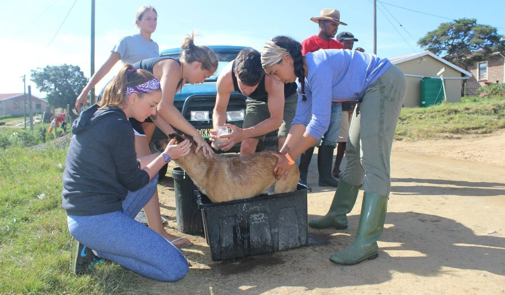 Volunteer vet students treating dogs in the local village for international veterinary experience in South Africa
