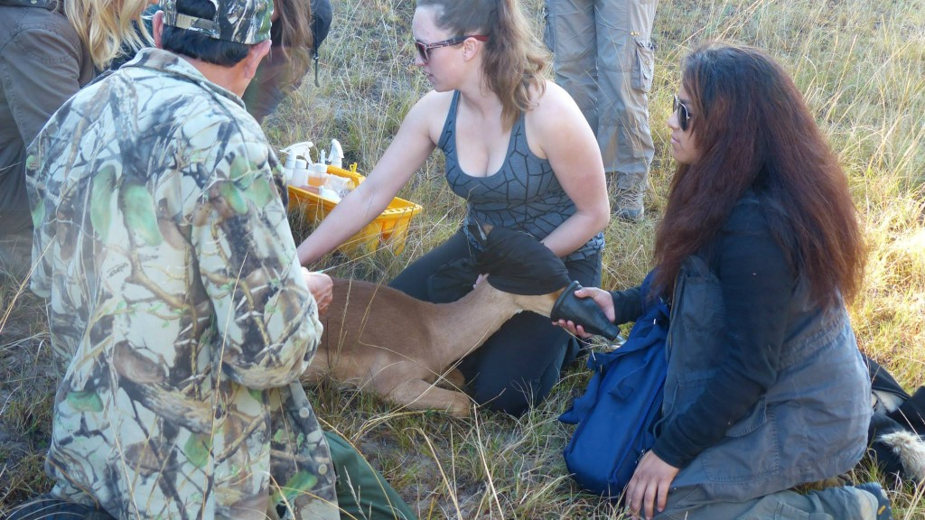 Volunteer vet students participating in impala game capture for international veterinary experience in South Africa