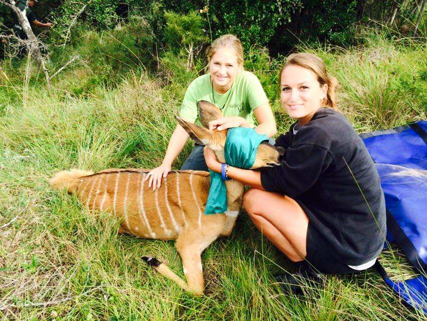 Volunteer vet students participating in a nyala game capture for veterinary experience in South Africa