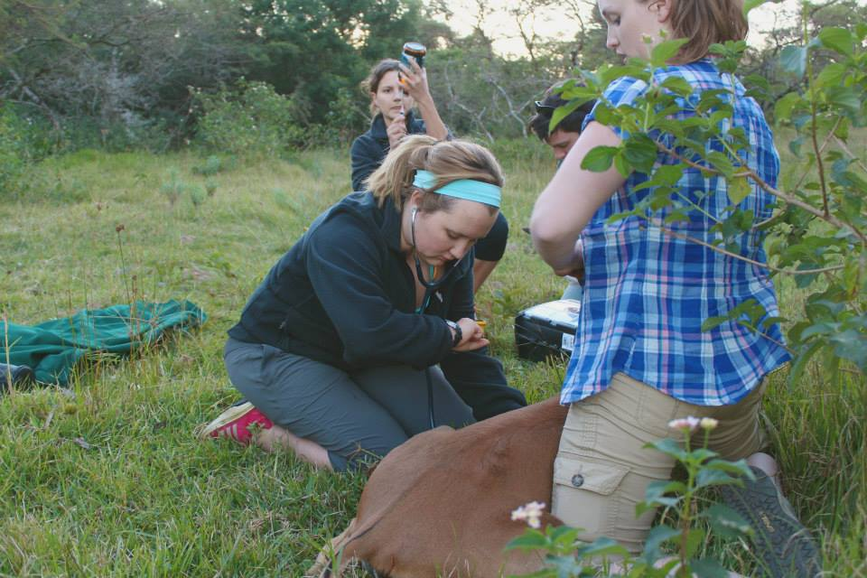 Volunteer vet students participating in a impala game capture for veterinary experience in South Africa