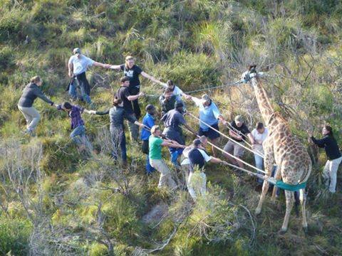 Volunteer vet students participating in game capture for international veterinary experience in South Africa