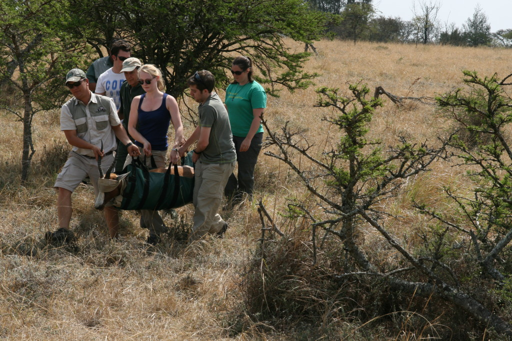 Volunteer vet students participating in blesbok game capture for international veterinary experience in South Africa