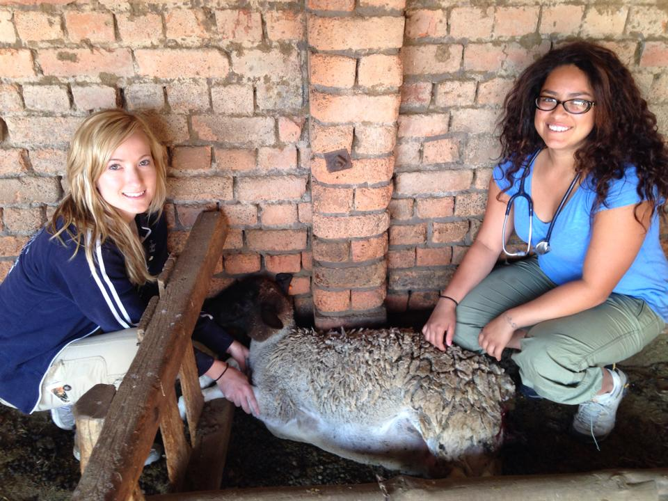Volunteer vet students treating sheep for international veterinary experience in South Africa