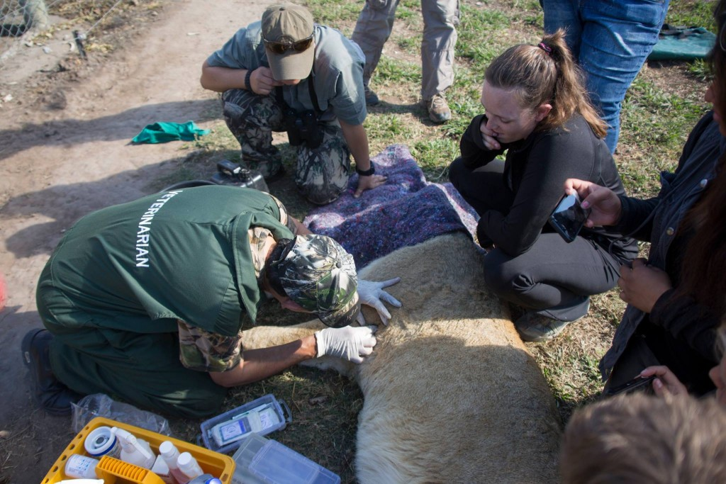 Volunteer vet students participating in lion game capture for international veterinary experience in South Africa